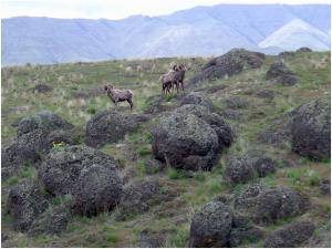 Big Horned Sheep in Big Canyon, Snake River, Hells Canyon Idaho